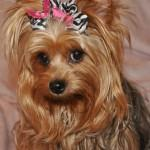Female Yorkie Haircuts Dryorkies Pastpuppy Html
